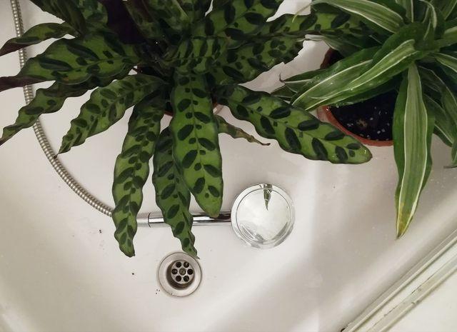 Dusche deine Pflanzen mit Wasser ab, um Thripse und andere Schädlinge loszuwerden.