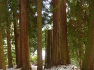 Riesenlebensbäume gehören zu den größten Nadelbäumen.