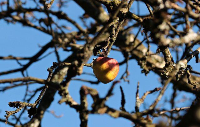 Apfelbaum-Krankheiten können sowohl den Baum als auch die Früchte befallen.