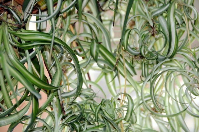 Die Grünlilie ist eine beliebte Hängepflanze.