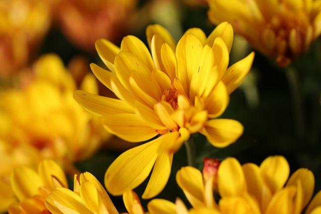 Es gibt Chrysanthemen sowohl gefüllt als auch ungefüllt.