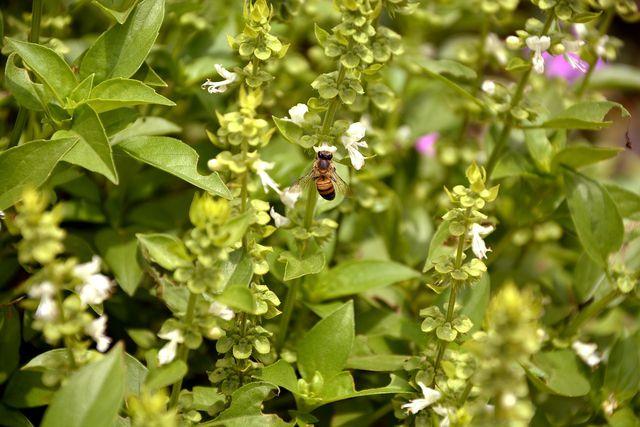 Blühender Basilikum ist bei Bienen beliebt.