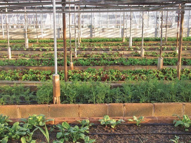 Gemüse aus dem Gewächshaus führt zu höheren Nitritwerte.