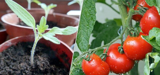 Growing tomatoes how to grow tomatoes in pots container homegrown DIY planting instructions