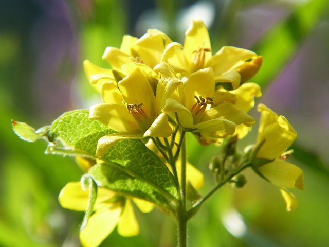 Den gelb blühenden Gilbweiderich solltest du an einem sonnigen Standort pflanzen.