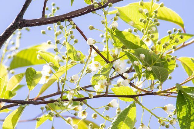 Eine gut ausgelichtete Baumkrone ist wichtig, damit die Vogelkirsche eine reiche Ernte abwirft und keine Krankheiten bekommt.