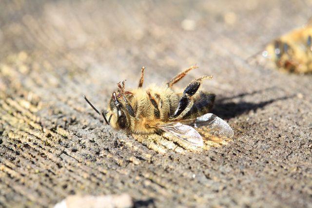 Bienen kommen durch die Pollen und den Nektar in Berührung mit dem Nervengift.