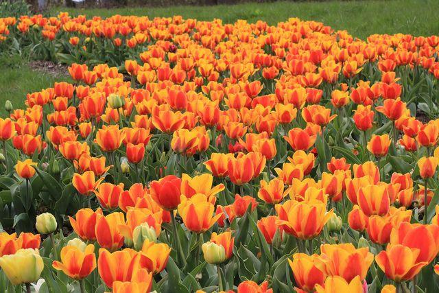 Standort für Tulpen: Hauptsache sonnig