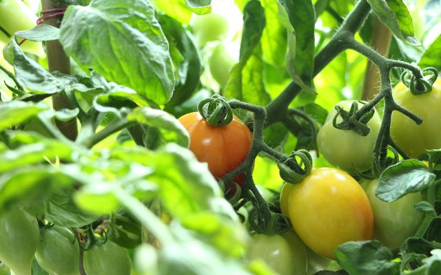 Cherry tomatoes easiest easy to grow