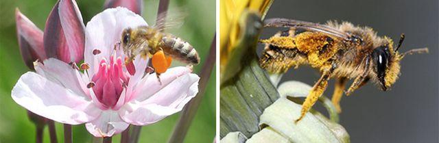 Wildbiene und Honigbiene