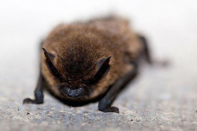 Fledermäuse verstecken sich im Haus oft in Vasen und hinter Vorhängen.