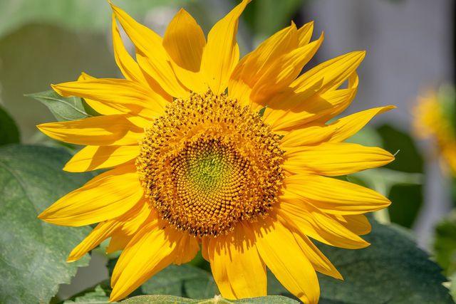 Mit der richtigen Pflege wachsen Sonnenblumen auch im Topf.