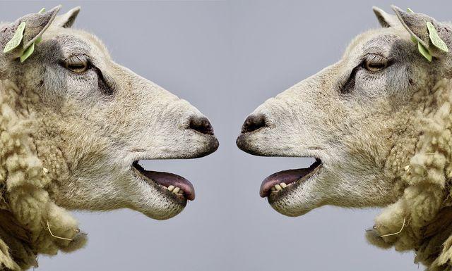 Schafe müssen bei der Schur oft leiden.