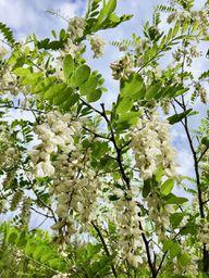 Robinien kannst du durch ihre weißen Blüten leicht mit den Akazien verwechseln.
