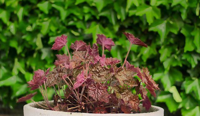 Winterharte Balkonpflanzen: Zwischen April und September trägt das Purpurglöckchen Blütenrispen mit feinen Glöckchen.