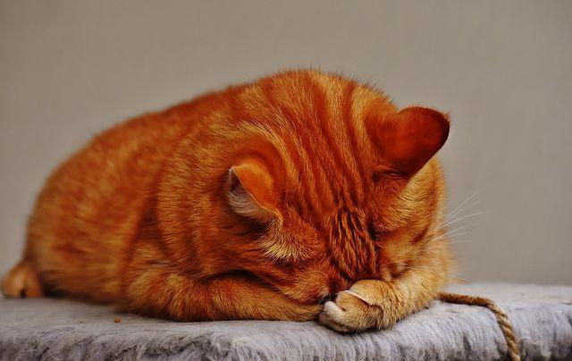 Bei einer Tierhaarallergie gegen Katzen kann eine Desensibilisierungstherapie helfen.