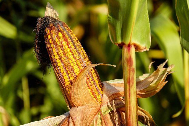 Biobasierte Kunststoffe bestehen beispielsweise aus Maisstärke.