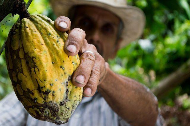 Bei Fair-Trade-Kakao erhalten die Kleinbauern faire Preise für ihren Kakao.