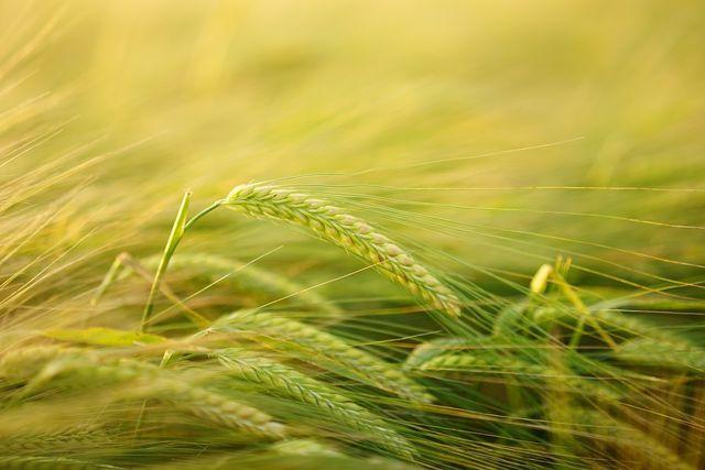 Gerstenmehl ist eines von verschiedenen Produkten, die sich aus der Gerste gewinnen lassen.