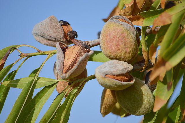 Mandeln werden vor allem in Kalifornien angebaut