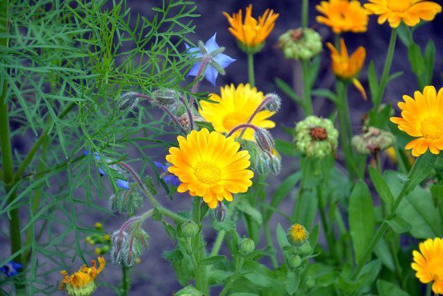 Borretsch und Ringelblume eignen sich gut als Mischkultur.