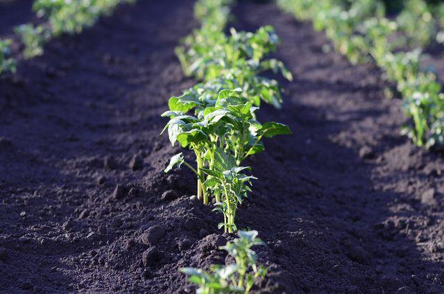 Besonders häufig befallt der Drahtwurm die Kartoffelpflanze.