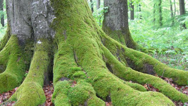 Bäume kommunizieren über ihre Wurzeln, die Blätter und die Luft miteinander.