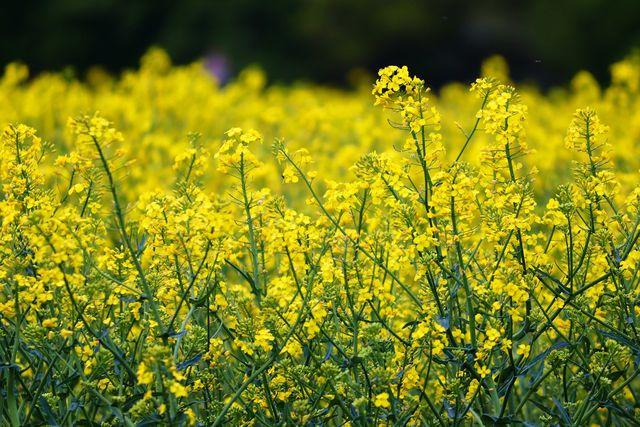 Heimisches Rapsöl enthält im Gegensatz zu Olivenöl viele Omega-3-Fettsäuren.