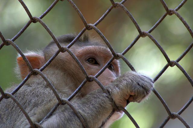 Rhesusaffen werden häufig für Tierversuche