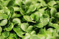 Feldsalat ist vielseitig und besonders gesund.