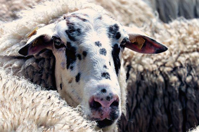 Lanolin aus Schafwolle