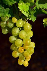 Du kannst sowohl weiße als auch dunkle Weintrauben entsaften.