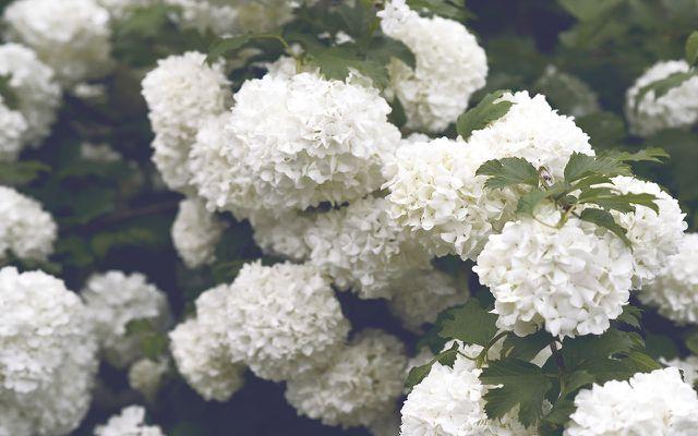 flowering bush for shade
