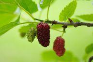 In ihrer Form ähneln die Maulbeeren den Brombeeren.
