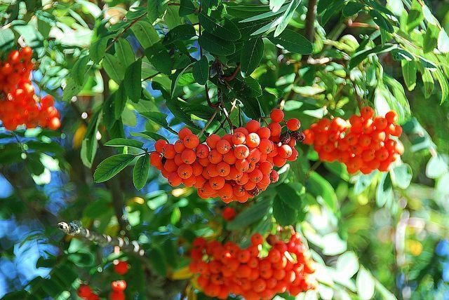 Die Eberesche ist eine der Wildpflanzen, die im Herbst farbenfrohe und aromatische Früchte tragen.