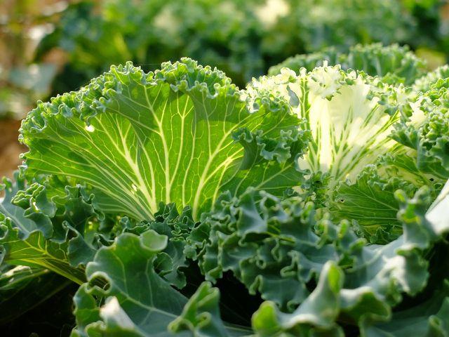 Nach dem Pflanzen des Grünkohls solltest du ihn regelmäßig wässern und düngen.