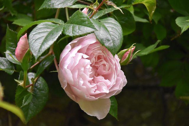 Ein Garten mit vielen unterschiedlichen Pflanzen hilft, dem Befall der Rosen von Blattläusen vorzubeugen.