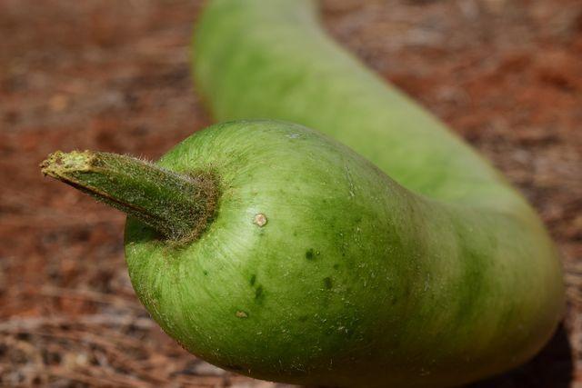 Damit die Kalebasse große Früchte bildet, muss die Pflanze regelmäßig gedüngt werden.