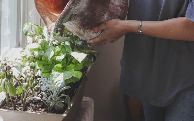 Use onion skins as a plant food fertilizer nutrients