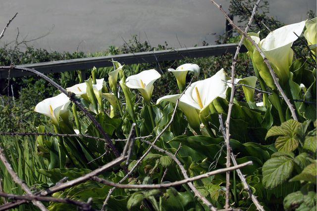 Im Mai kannst du die Calla wieder einpflanzen.
