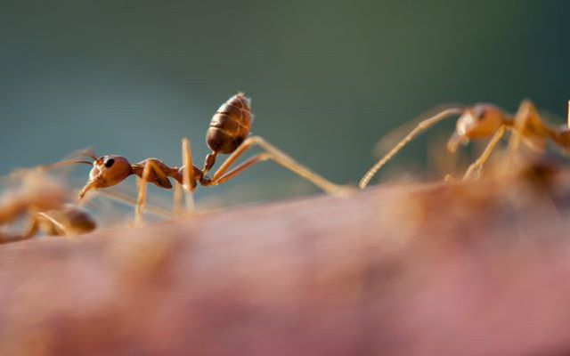 ants are useful but you might still need natural ant repellents