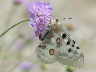Neben Bienen ziehen Skabiosen auch andere Insekten wie Schmetterlinge an.