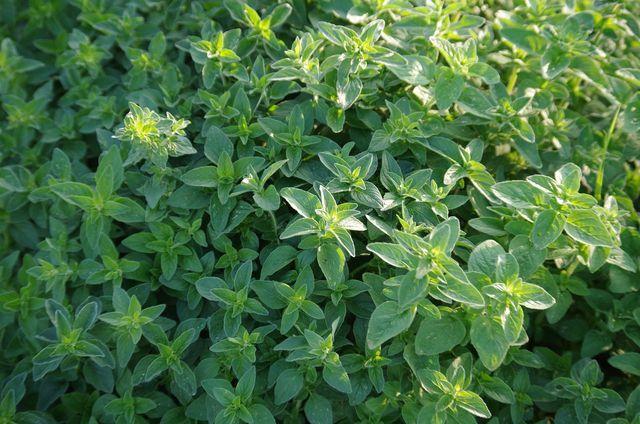 Mit etwas Vorbereitung gedeiht wilder Majoran auch in deinem Garten.