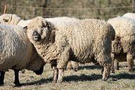 Schafwolle wird meist unter tierquälerischen Umständen produziert. Greife daher lieber auf vegane Alternativen zurück.