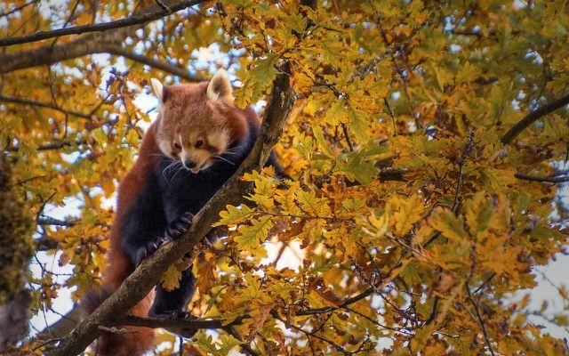 Der Rote Panda: Nur einer von vielen auf der roten Liste