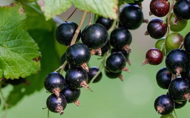 Black currants foods good for hair skin healthy nutritious foods