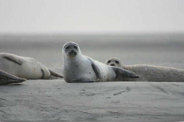In Robben kann sich Quecksilber stark anreichern.