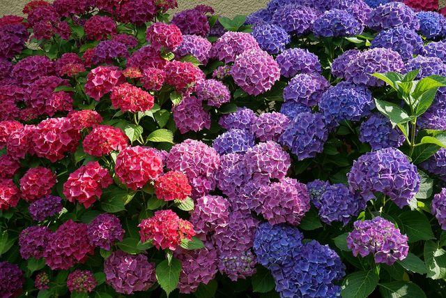 Wenn du Hortensien richtig pflegst, wirst du mit prachtvollen Blüten belohnt.