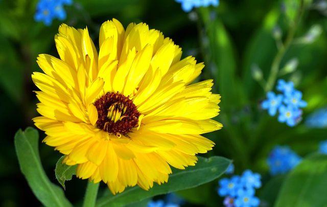 Zu den Hausmitteln gegen eine Bindehautentzündung zählt auch die Ringelblume.