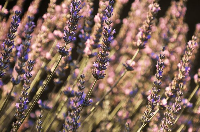 Melissenöl gibt es oft mit Lavendel gemischt.